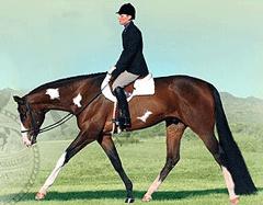 Hunter under saddle. Bay Overo paint..gorgeous!