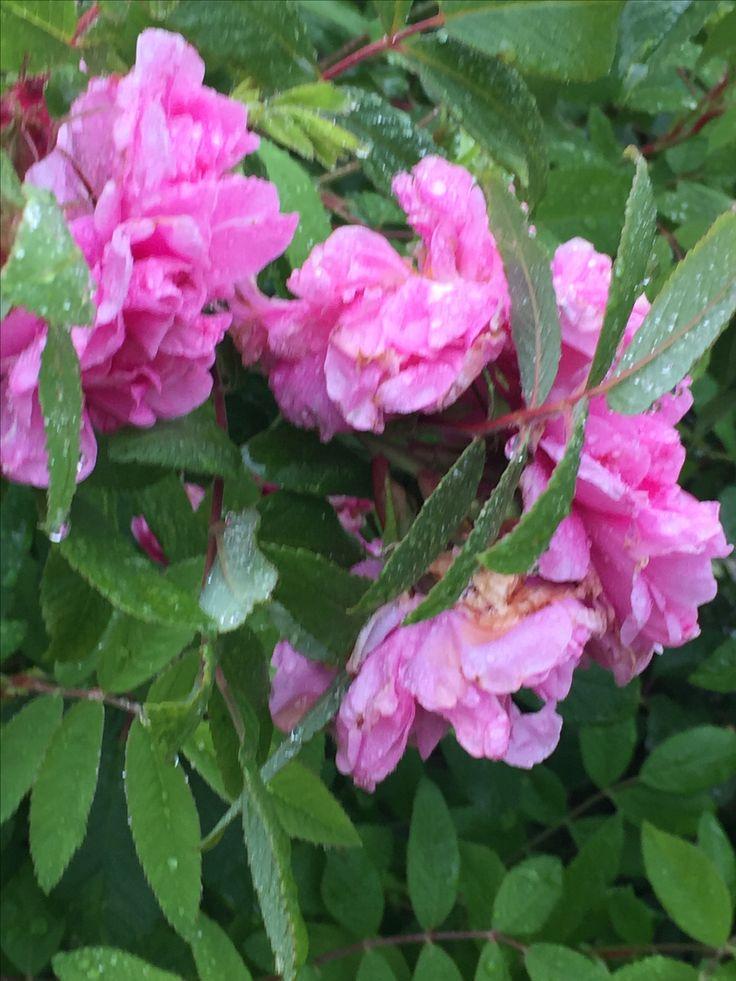 Arvegods! Morplanten til denne peonen er over 100 år gammel og delt i generasjoner.