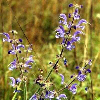 ÄNGSSALVIA i gruppen Fröer / Krydd- och Medicinalväxter / Kryddväxt hos Impecta Fröhandel (3225)