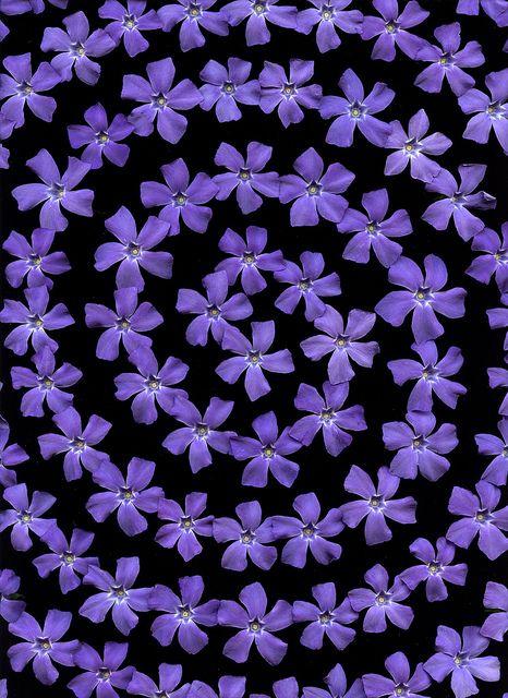 54230-01 Vinca minor by horticultural art, via Flickr