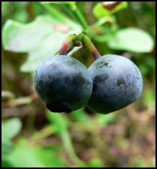 Growing Blueberries Successfully and How to Grow Blueberries in your own Backyard