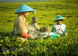 tea-plantation2_kerinci_south-sumatra_sumatran-trails-001