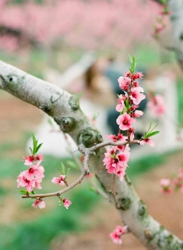 Pin By Tmelone On Spring Summer Seasonal Photography Cherry Blossom Images Cherry Blossom Branch Blossom