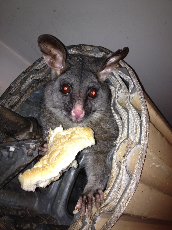 Possum.  Poss has been living in Burce's roller door or 6 years!  She produces at least 2 babies each year.