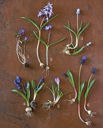 Mass these six fall-planted species for a grand statement lasting 6 - 8 weeks in the spring  1. Grecian Windflower (Anemone blanda) | 2. Glory of-the-Snow (Chionodoxa luciliae) | 3: Grape Hyacinth (Muscari 'Valerie Finnis') | 4. Siberian Squill (Scilla siberica) | 5. Woodland Crocus (C. tommasinianus) | 6. Grape hyacinth (M. latifolium)
