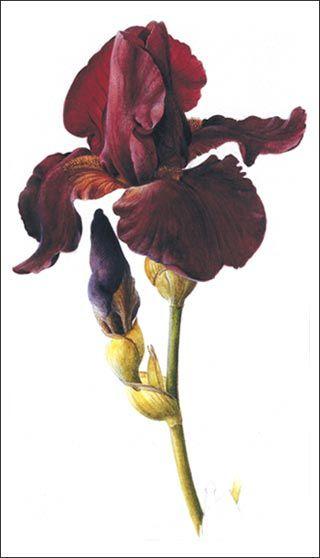 botanical illustration -