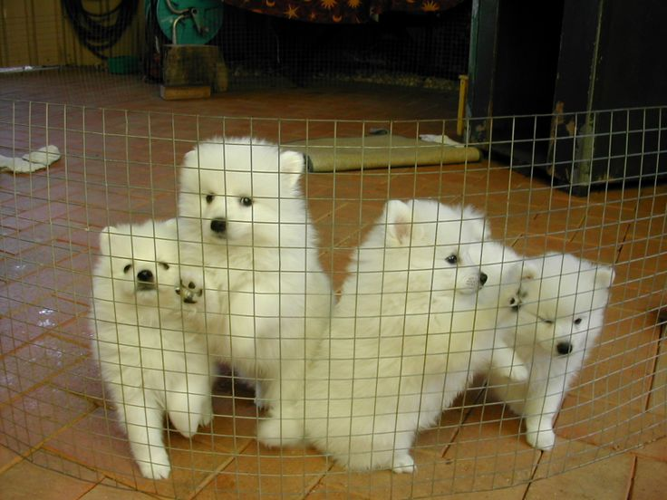 Puppies Pictures File Japanese Spitz Puppies Jpg Wikimedia