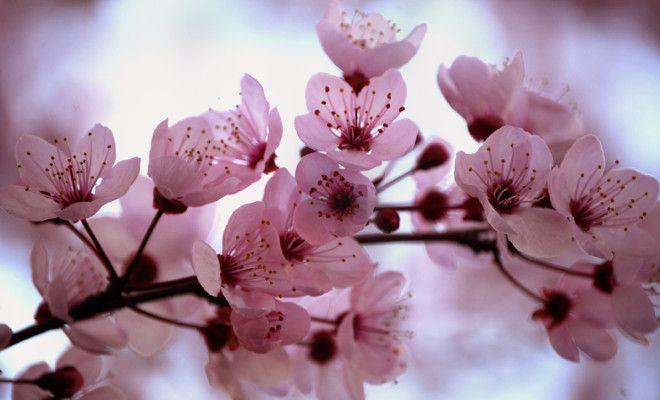 Sakura Flower Origin Legend And Symbolism Cherry Blossom Flowers Cherry Blossom Tree Sakura Cherry Blossom
