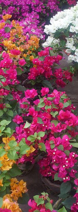 Bougainvillea Plant Tips & Varieties Bougainvillea is one of Australia's most vibrant sun loving, drought tolerant vigorous sprawling climbers that grow with neglect mostly blooming throughout spring, summer and autumn. It is a resilient and massively floriferous plant found almost in every part of the world with over 18 species, this flowering bush originates from read more