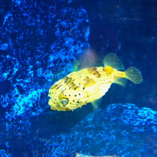 119 Best Images About Puffer Fishy On Pinterest Fish