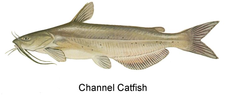 For Wolf Elective 19 (Fishing) Channel Catfish image courtesy of [include photo credit here]