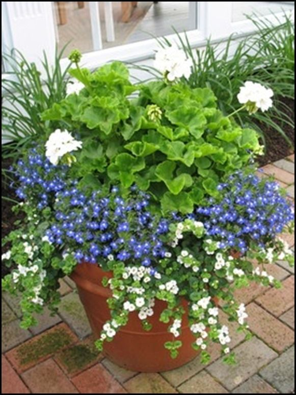 White Geranium, blue Lobelia, white Bacopa
