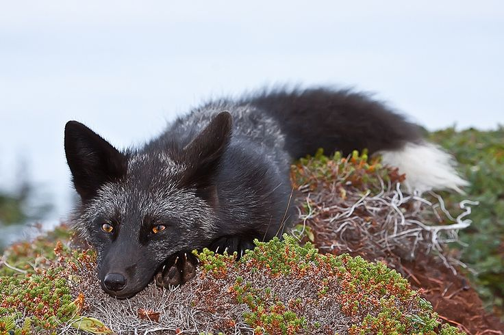 Black Fox | Young Black Fox in the Wild 10 by Witch-Dr-Tim