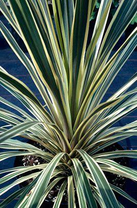 cabbage palm 'Torbay Dazzler'