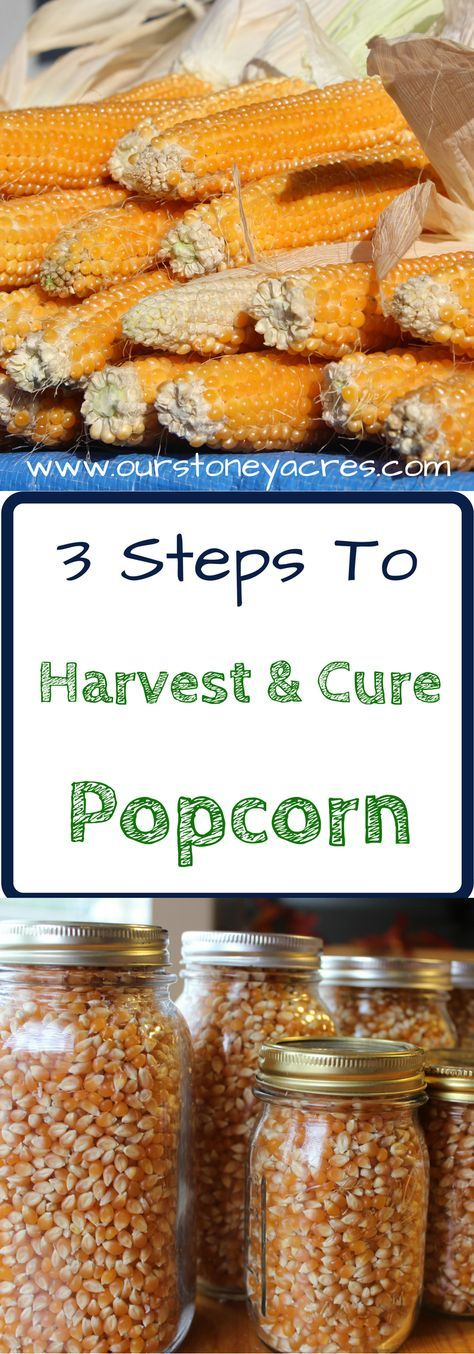 Curing Popcorn. Harvesting and curing popcorn is a simple process that should be done in mid fall, after your first frost but before snow or rain settle in. Popcorn is a great crop to grow in your garden. It's fun to grow and the kids will love this garden grown treat. This post will teach you how to cure your popcorn for winter storage.
