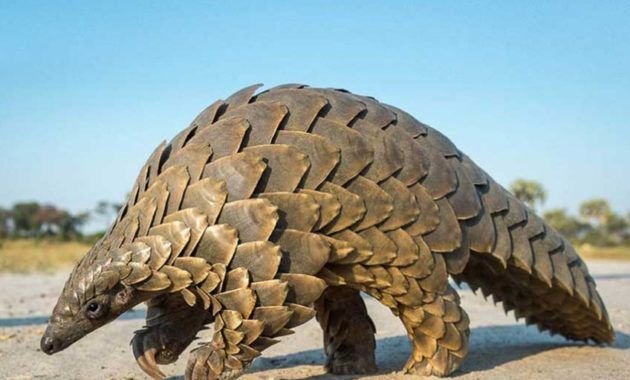 10 Fabulous Animals That Start With The Letter P Unusual Animals Endangered Animals Ground Pangolin