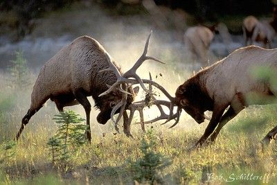 Elk fight, pretty cool ... I have been lucky enough to see this many times