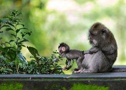 Małpy, Mała, Małpka, Liście, Rośliny