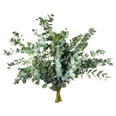 THis is a bunch.  How many do you think are needed?   Eucalyptus Cinerea (Italian Grown) heavy weight 400gm is an evergreen scented foliage with multiple round shaped leaves. 65cm tall & wholesaled per single bunch.
