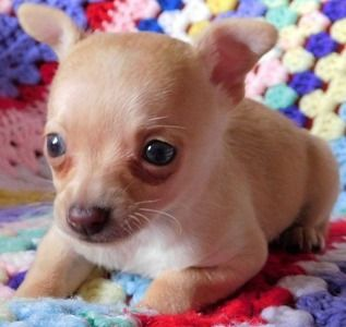 Adorable #Chihuahua Puppy