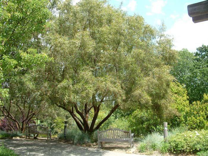 Plant photo of: Rhus lancea