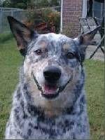 Blue Heeler dog named Dexter