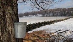 Maple tree with sap bucket. NY makes some world class maple syrup. NY wine,cheese and pizza are pretty great too. We also have great apples.