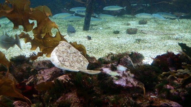 Laks og makrell trivs i akvariet.