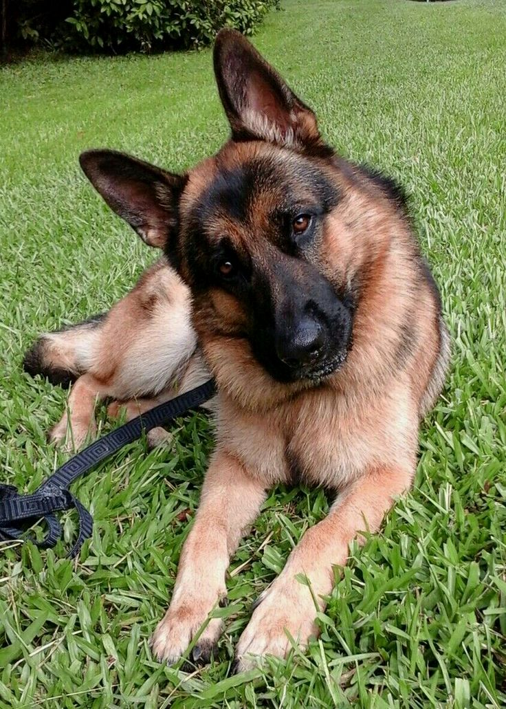 What Is The German Shepard S Real Temperament German Shepherd Chihuahua Mix German Shepard Puppies Dogs