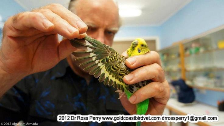 21 best avian veterinarians images on pinterest veterinarians parakeet wing ccuart Images