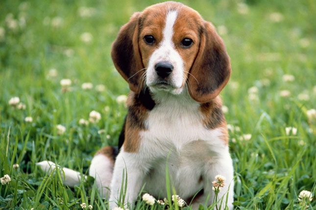 Find Beagle puppies for sale with pictures from reputable dog breeders. Ask questions and learn about Beagles at NextDayPets.com.