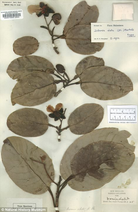 Joseph Banks's herbarium sheet, which consists of plants collected by the pioneering scientist on Captain Cook's first voyage to Australia in 1770