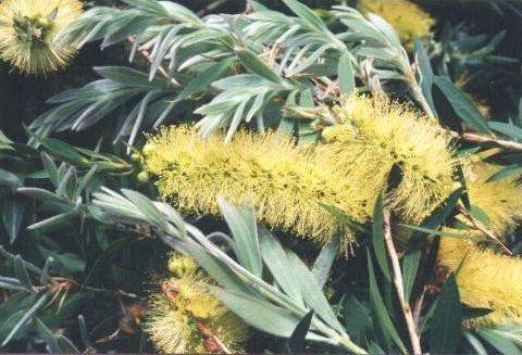 Callistemon Candle Glow --- For more Australian native plants visit austraflora.com