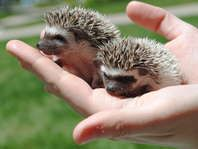 Baby hedgehogs for sale! OH MY GOD I NEED ONE