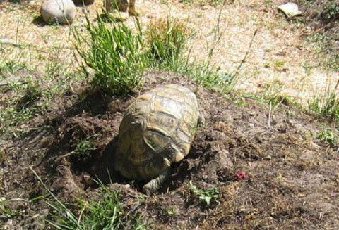 Sur le site d'information, vous trouverez toutes les informations utiles sur la tortue de terre ainsi que sur la tortue terrestre, tortue Graeca, Reproduction