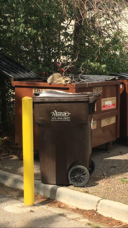 Saving a trash panda on a 95 degree day in Colorodo