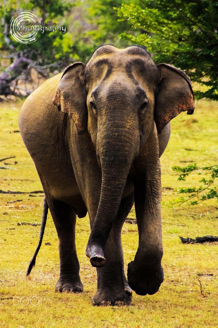Gentle Giant - Elephant seen at Yala National Park, Sri Lanka