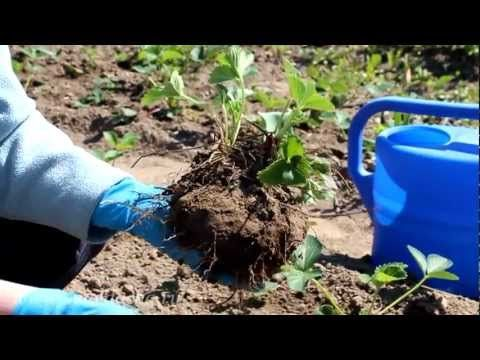 Cекреты выращивания земляники садовой