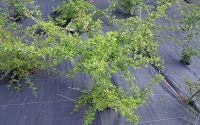 importante ...Plantas aromáticas, medicinais e condimentares: Plantas aromáticas em consociações de culturas em agricultura e jardinagem biológica