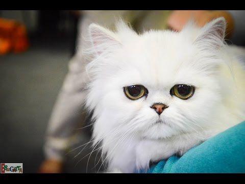Csodaszép cicák a macskakiállításon!