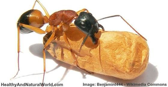 How to Get Rid of Sugar Ants Fast Naturally