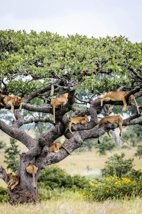 A CAT TREE?  Lions napping up a tree in Central Serengeti, Tanzania. (Bobby-Jo Clow/Caters News)