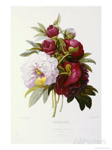 Peonies Giclee Print by Pierre-Joseph Redouté