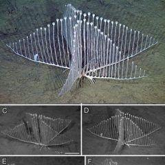 画像は数年前にカリフォルニア沖水深3300メートルの海底から発見された新種生物コンドロクラディアリラ形がハープに似ていることから名付けられているようです複数にわかれた根の部分から放射状にハープの弦のような枝が生えておりこの枝を使って罠をしかけ先端についたフックを使って小さな甲殻類を捕食するそう一般的な海綿生物は海水中のバクテリアや有機物を体でろ過してそこから栄養を採ると言われていますが初めて肉食の海綿生物が存在することが判明真っ暗な深海でこんな生物に捕らえられて捕食される恐怖人間で良かったなとしみじみ思うとともに少しだけそういった恐怖に惹かれるところもあります思わずそう思うほど美しい生物ですね tags[福岡県]