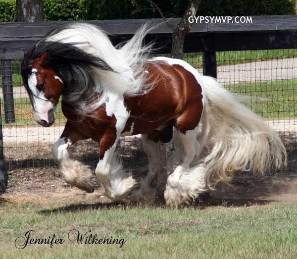 tricolored Gypsy Vanner stallion
