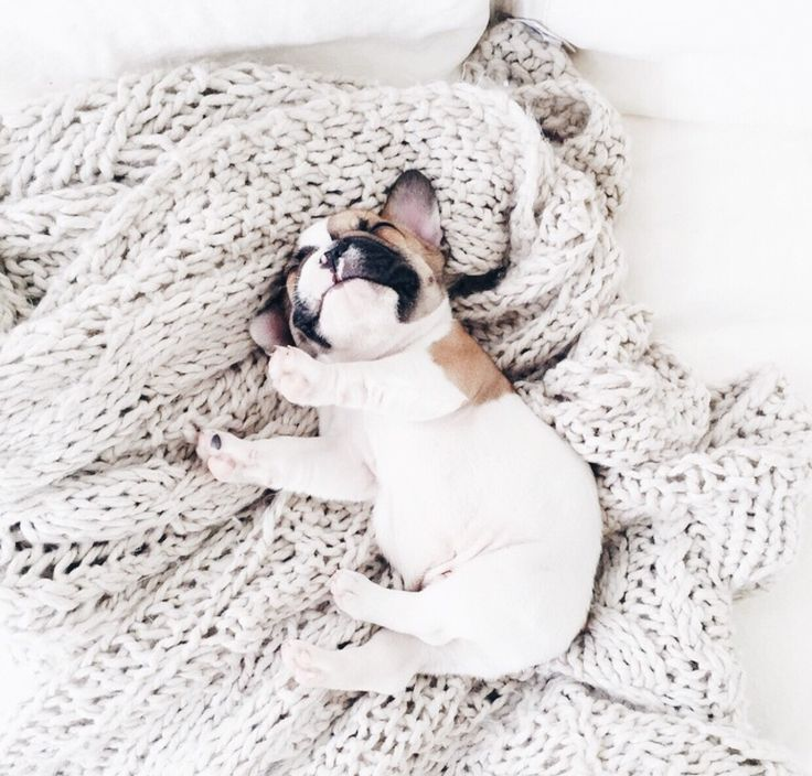 What Sundays are for...  #sunday #frenchie
