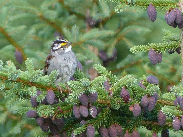 http://faaxaal.forumgratuit.ca/t391-photo-d-oiseau-bruant-a-gorge-blanche-zonotrichia-albicollis-white-throated-sparrow#6600