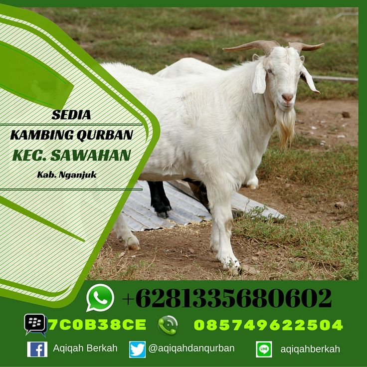 Call / SMS : 0857 4962 2504 Whatsapp : +6281 335 680 602 PinBB : 7C0B38CE Sedia Kambing Qurban Kec. Sawahan Kab. Nganjuk www.aqiqahberkah.com