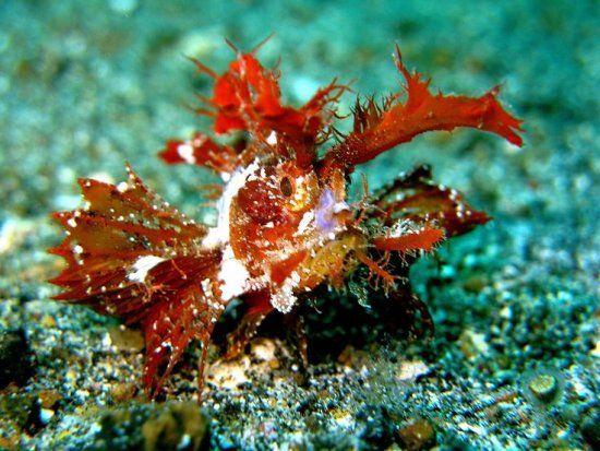 El pez escorpión Ambon (Pteroidichthys amboinensis) es un pez marino del bentos perteneciente a la familia de los peces escorpión (Scorpaenidae) . Es la única especie que integra el género Pteroidichthys. Habita en las costas de Australia, el Mar Rojo, Fiji, Mar amarillo y el Océano Índico.