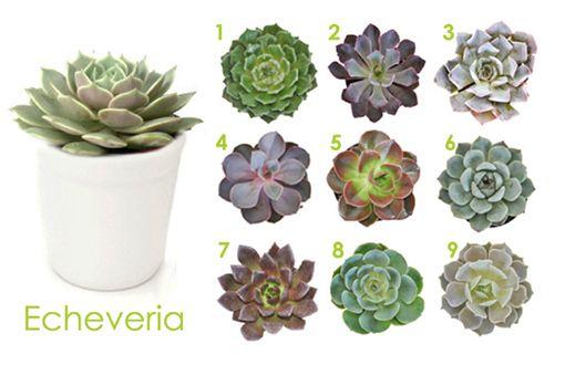 Plantas crasas echeveria cactus y suculentas pinterest - Clases de flores y sus nombres ...